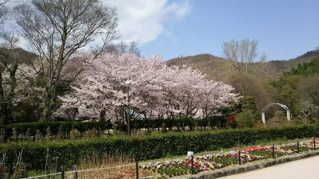 高砂市の市ノ池公園♪ とても桜が綺麗でした♪
