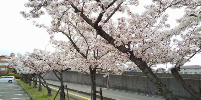 播磨町役場にて♪桜満開♪2021.04.03