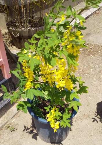 住吉神社(明石市魚住町中尾)の黄色の藤の花♪