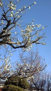 プラムと四季桜