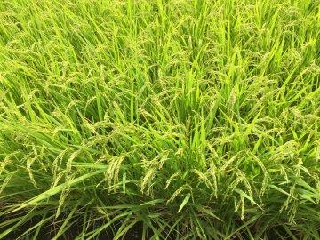 たんぼ 稲