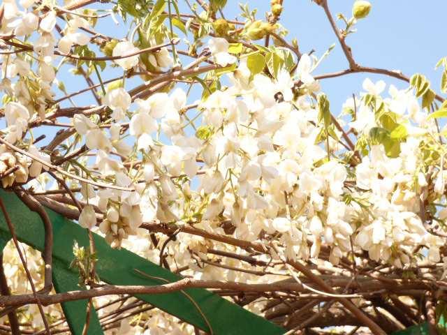 播磨町の阿閇神社の藤の花のご紹介♪