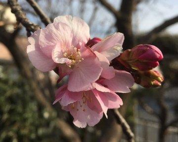 河津桜2月20日
