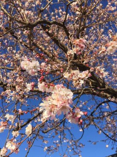 四季桜 12月18日撮影