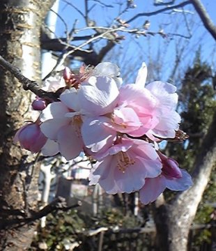 河津桜kibe