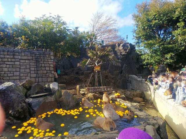 柚子風呂に入るカピバラ