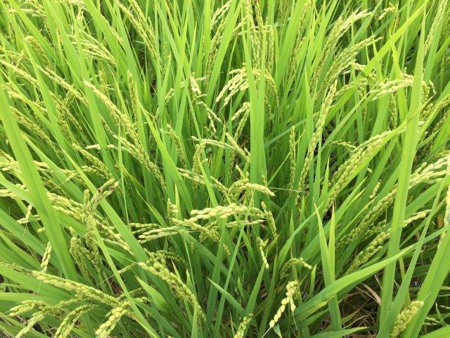 きべさんの田んぼ あと1か月で収穫・・・実りの秋    【平成29年9月3日撮影】