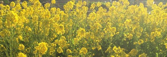 きべ不動産社長の育てた菜の花