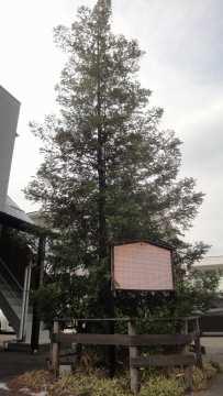 現在の樅の木