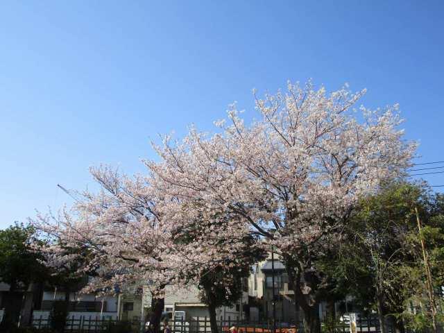 大口公園の桜です!