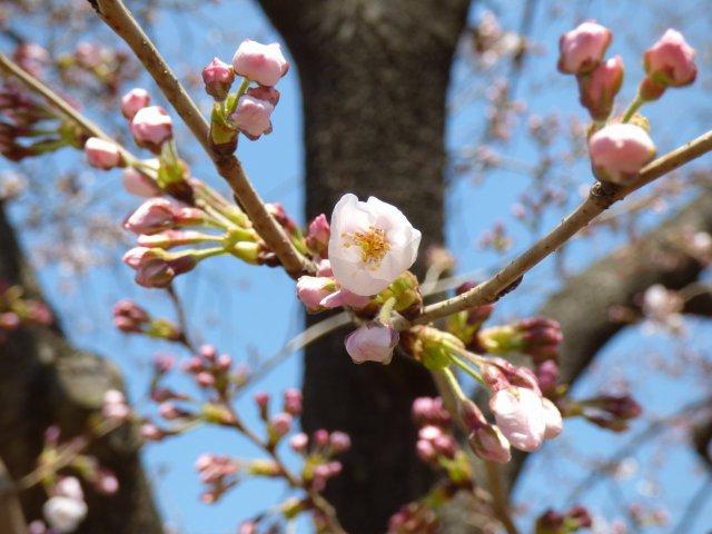 播磨町『であいのみち♪』にて 桜が少し咲き始めです♪