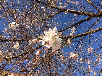 四季桜開花