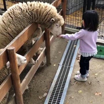 羊さん首長ツ(゜Д゜;)‼