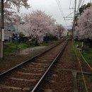 嵐電「桜のトンネル」宇多野法安寺町