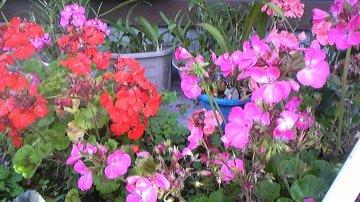 赤い花 ピンクの花