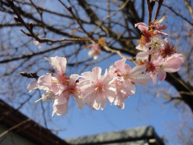 まだまだ咲いています。社長宅の四季桜! 1月6日撮影