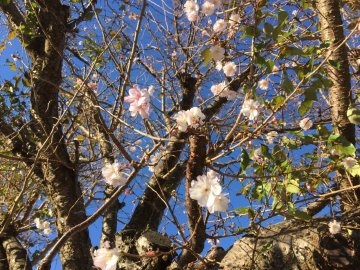 四季桜11月23日撮影