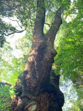 樹齢2000年大楠