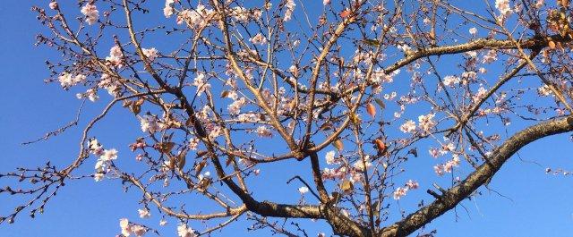 きべさんの庭 四季桜    【平成29年11月29日撮影】
