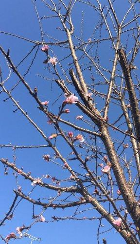 ようやくチラホラと咲き始めました。待ってました!河津桜!