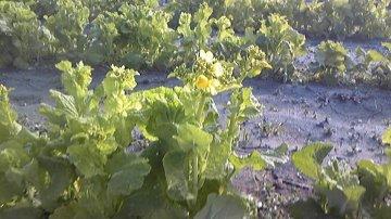 菜の花2015