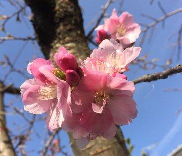 河津桜2月28日