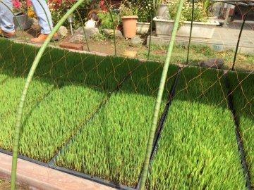 米作り 苗作り