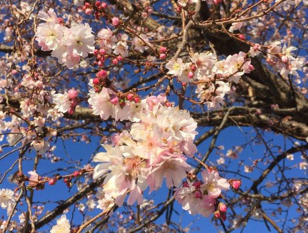 きべさんの庭に咲く 四季桜