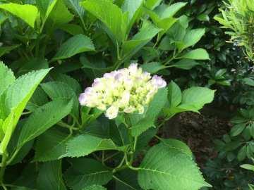 紫陽花2」
