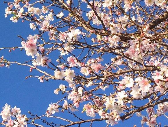 四季桜満開