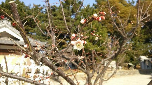 浜宮天神社♪ 梅の花が咲き始めていました♪
