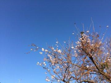 四季桜11月29日撮影
