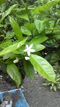 みかんの花2