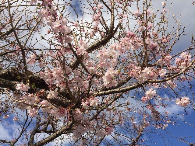 四季桜 きれいです。